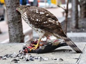 Verschiedene Greifvogelarten sind die natürlichen Feinde von Tauben, weshalb vielerorts Falkner ihre Vögel auf die Jagd nach Stadttauben gehen lassen, © Knight725 via Flickr