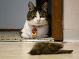 Viele Hauskatzen töten während ihres Freigangs Vögel aufgrund ihres Instinkts, fressen sie jedoch nicht - der Tod der Vögel ist damit völlig sinnlos, © Brandon O'Connor via Flickr