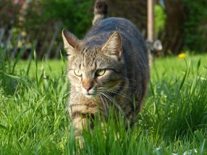 Hauskatze durchstreift einen Garten, © Katzenspielzeug / Pixabay