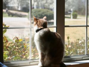 Würden nicht mehr so viele Hauskatzen wie bisher die Natur durchstreifen, wäre dies positiv für die Singvogelbestände, © maigrey42 / Flickr