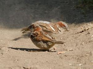 Haussperlinge beim Staubbad, in Sand baden diese Vögel ebenfalls sehr gern, © TCDavis via Flickr
