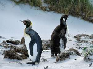 Königspinguine (Aptenodytes patagonicus), © Richard Giddins via Flickr