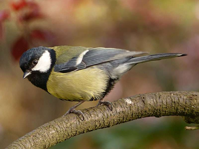 Kohlmeise (Parus major), © Oldiefan / Pixabay