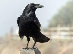 Kolkrabe (Corvus corax), © Ingrid Taylar via Flickr