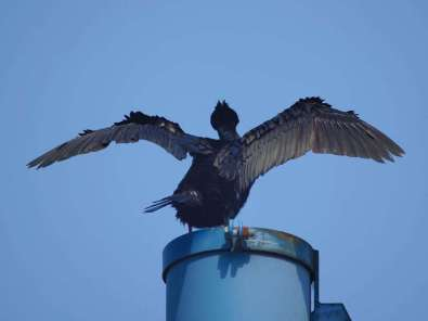 Kormoran (Phalacrocorax carbo) in typischer Körperhaltung nach dem Tauchen, © Gaby Schulemann-Maier