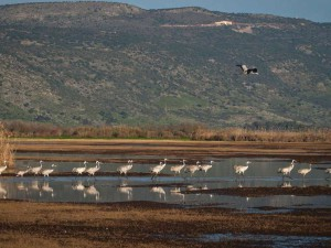 Kraniche (Grus grus) rasten in Israel am Agamon HaHula, © Flavio~ via Flickr