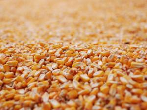 Ganze Maiskörner sind als Futter zu groß für die meisten einheimischen Wildvögel, © Alessandro via Flickr
