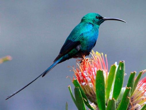 Nektarvögel wie dieser Malachit-Nektarvogel (Nectarinia famosa) haben einen gebogenen Röhrenschnabel zum Trinken von Nektar; sie sind nicht mit Kolibris verwandt, © Derek Keats via Flickr