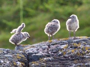 Junge Mantelmöwen, © David Nunn via Flickr