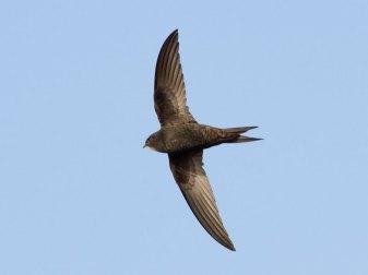 Erwachsener Mauersegler (Apus apus) im Flug, © Dave Curtis via Flickr