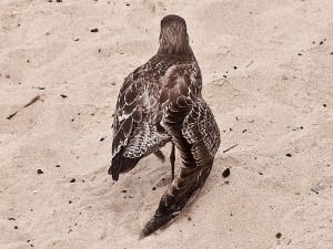 Eine Flügelverletzung ist für jeden Vogel eine lebensbedrohliche Situation, © Laura Gilmore via Flickr