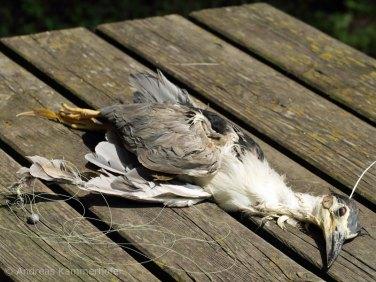 Für diesen in einer angelschnur verfangenen Nachtreiher kam jede Hilfe zu spät, der Vogel ist ertrunken, © Andreas Kammerhofer