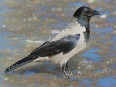 Nebelkrähe (Corvus cornix), © Stefan Berndtsson via Flickr