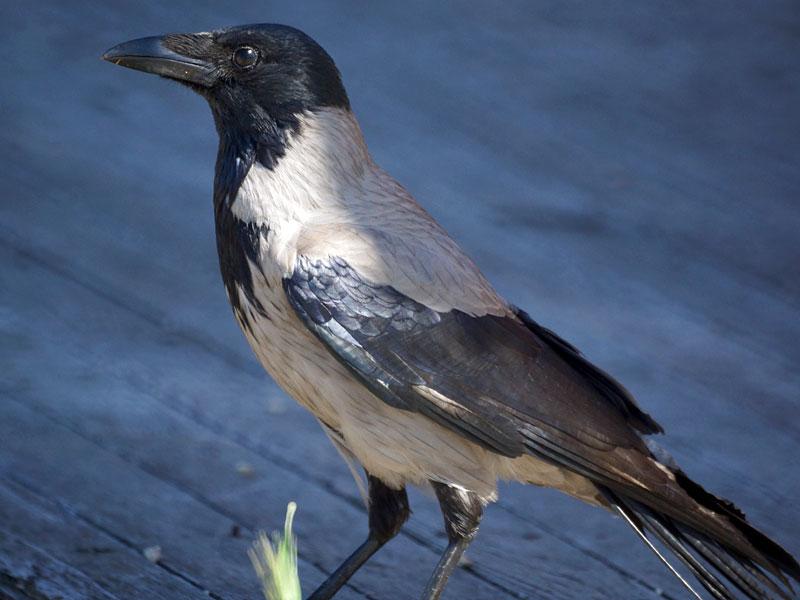 Nebelkrähe (Corvus cornix), © Gaby Schulemann-Maier