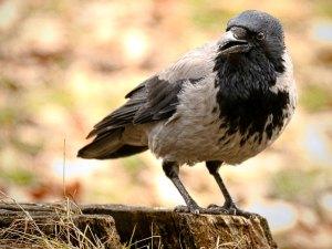 Nebelkrähe (Corvus cornix), © hedera.baltica via Flickr