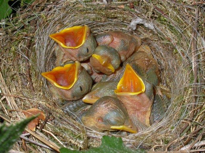 Junge Neuntöter, © Gilles San Martin via Flickr