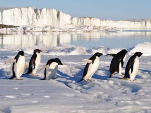 Pinguine haben einen natürlichen Wärmetauscher aus Blutgefäßen in den Beinen, der effizient verhindert, dass die Vögel über die Füße zu viel Körperwärme verlieren oder am Boden festfrieren, © derdento / Pixabay