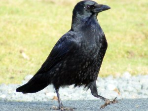 Rabenkrähe (Corvus corone), © Joe via Flickr