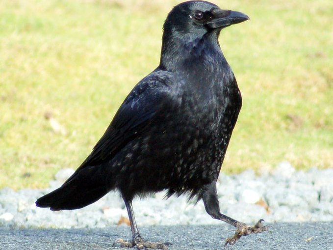 Rabenkrähe (Corvus corone), © Joe via Flickr