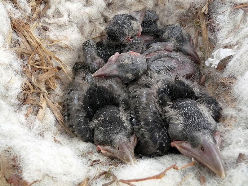 Junge Rabenkrähen, © Nottsexminer via Flickr