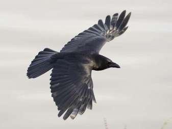 Rabenkrähe (Corvus corone) im Flug, © Tim Spouge via Flickr