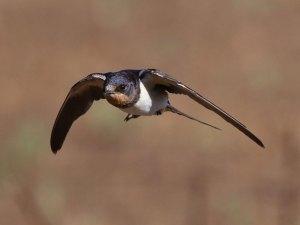 Rauchschwalben und andere Schwalben sind wendige Flieger, die ihre Beute im Flug fangen, Erwachsene Rauchschwalbe, © Derek Keats via Flickr
