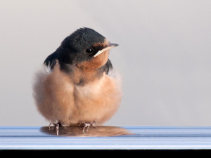 Junge Rauchschwalbe, © Ingrid Taylar via Flickr