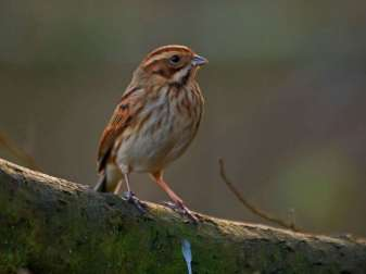 Rohrammer (Emberiza schoeniclus) im Winter, © GrahamC57 via Flickr