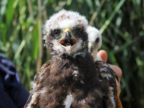 Junge Rohrweihe, © themadbirdlady via Flickr