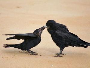 Junge Saatkrähe (links) wird von einem Altvogel gefüttert, © John Haslam via Flickr
