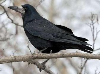 Erwachsene Saatkrähe (Corvus frugilegus), © Radovan Václav via Flickr