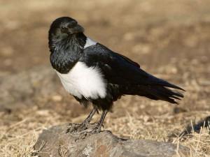 Schildraben (Corvus albus) sind auf dem afrikanischen Kontinent beheimatet, © Sergey Yeliseev via Flickr