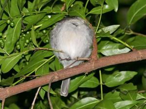 Federknäuel im Geäst - dieser Vogel schläft tief und fest und wird durch seine besondere Fußanatomie und den Gleichgewichtssinn vor Stürzen bewahrt, © Bernard DUPONT via Flickr