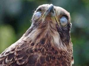 Diese Schlangenweihe (Spilornis cheela) hat keine Augenkrankheit. Das Foto entstand in dem Sekundenbruchteil, als der Vogel seine transparenten dritten Augenlider, die Nickhäute, geschlossen hatte. © Gaby Schulemann-Maier