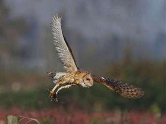 Schleiereule (Tyto alba), © Jerry McFarland via Flickr