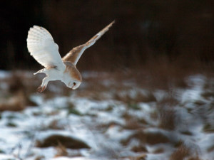 Eine am Tage jagende Schleiereule ist ein recht seltener Anblick, © nick ford via Flickr