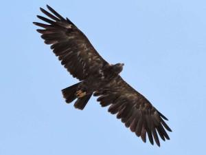 Schreiadler (Aquila pomarina) gehören zu den Zugvogelarten, die sehr selten sind und in Südeuropa vom illegalen Abschuss bedroht sind, © Radovan Václav via Flickr
