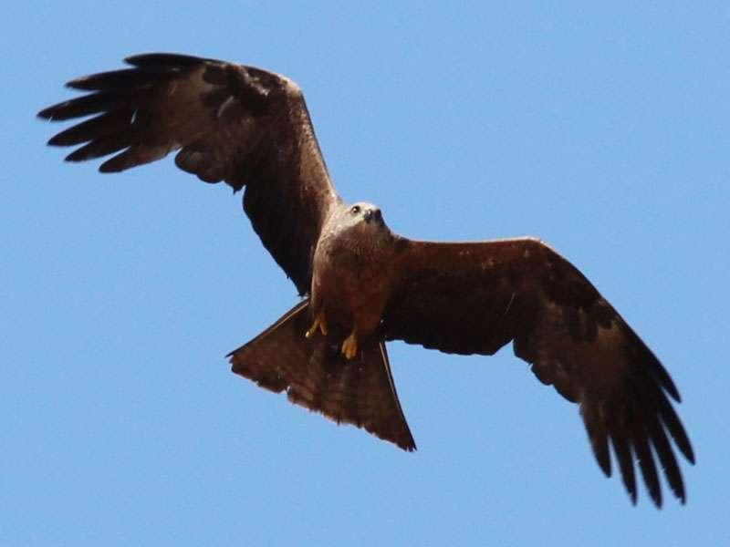 Schwarzmilan (Milvus migrans), © Michele Lamberti via Flickr