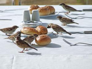 Spatzen auf dem Frühstückstisch im Freien, © RainerSturm / Pixelio.de