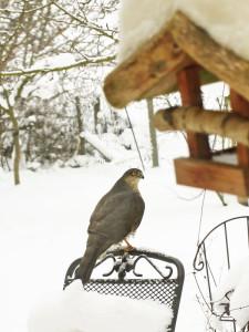 Ein Vogelfutterplatz zieht Greifvögel wie den Sperber unweigerlich an, © uschi dreiucker / Pixelio.de