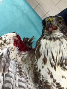 Wer draußen einen schwer verletzten Vogel wie diesen Mäusebussard sieht, sollte helfend eingreifen, © Bergische Greifvogelhilfe