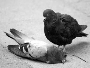 Tauben gehen sehr innige Bindungen ein und trauern lange um ihre verstorbenen Partner, © jens.lilienthal via Flickr