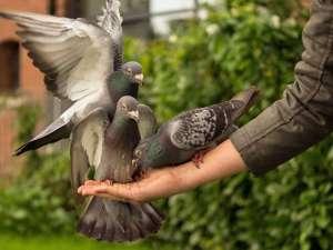 Das Füttern von Stadttauben ist fast überall verboten, obwohl diese Maßnahme erwiesenermaßen nicht zielführend ist, um die Bestände der Vögel klein zu halten, © Skitterphoto / Pixabay