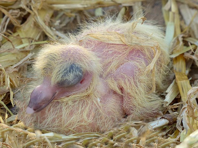 Stroh ist zwar relativ weich und hält sehr junge Tauben warm, doch es gibt noch weichere Polstermaterialien, die in den ersten Tagen, wenn junge Tauben noch unbefiedert sind, besser geeignet sind, © Oldiefan / Pixabay