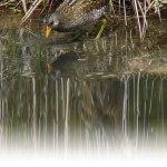 Erwachsenes Tüpfelsumpfhuhn, © Birdwatching Barcelona via Flickr
