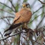 Männlicher Turmfalke (Falco tinnunculus), © Gaby Schulemann-Maier