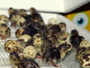Viele Menschen kennen Wachteln nur als Fleisch- und Eierlieferanten, die für den Verzehr gezüchtet werden. Doch in unserer heimischen Natur leben auch wilde Wachteln, deren Nachwuchs mitunter die Hilfe der Menschen benötigt, © Anna Hesser via Flickr