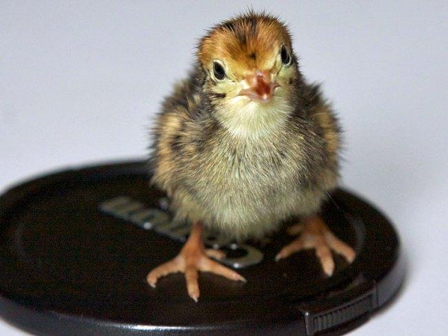 Junge Hühnervögel wie diese Wachtel sind sehr scheu und brauchen in ihrer Unterbringung Versteckmöglichkeiten, Junge Wachtel, © cskk via Flickr
