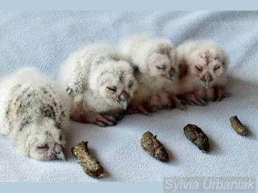Junge Waldkäuze mit den von ihnen produzierten Gewöllen, © Greifvogelhilfe.de