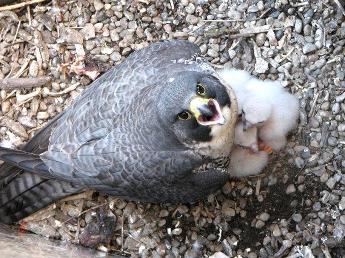 Jeunes faucons pèlerins dans le nid avec un oiseau adulte, © Per Verdonk via Flickr